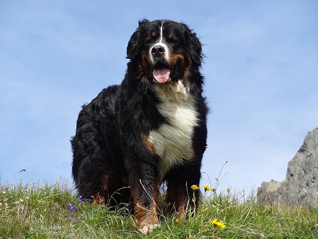 Camping mit Hund Schweiz Bergwiese