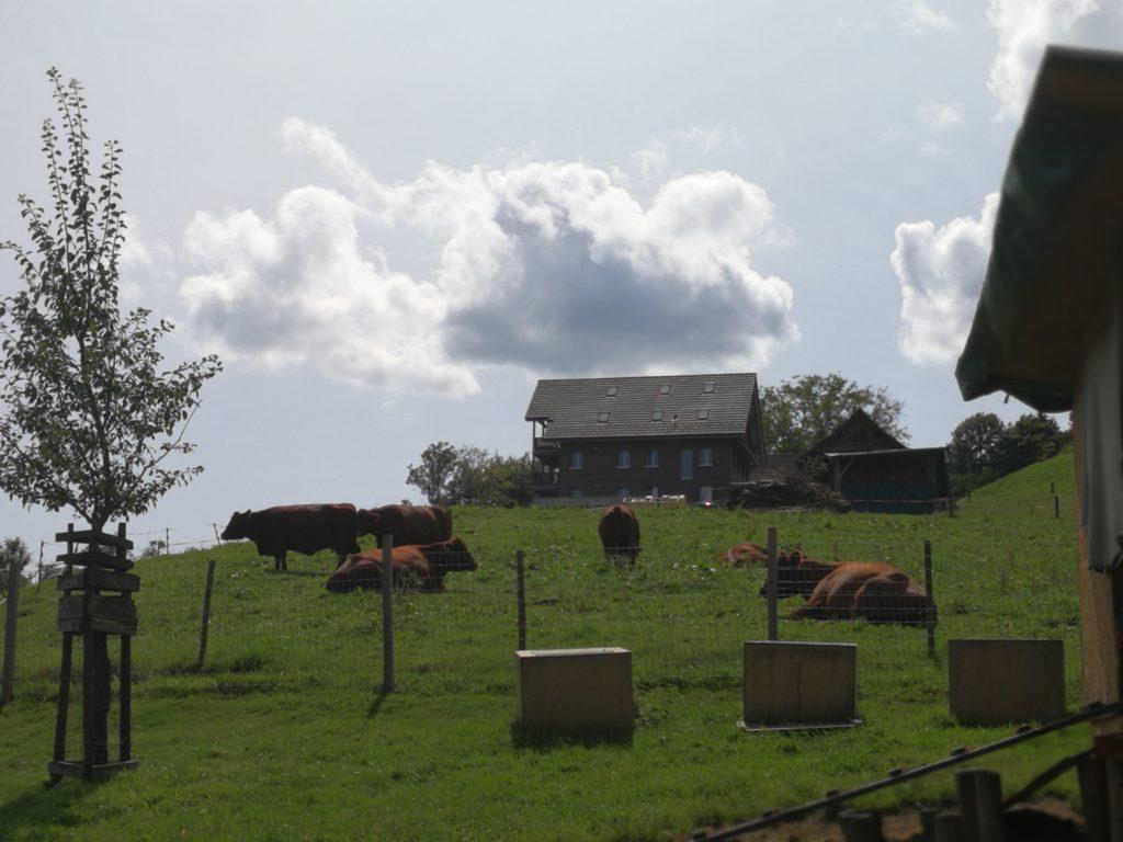Bauernhof Kühe